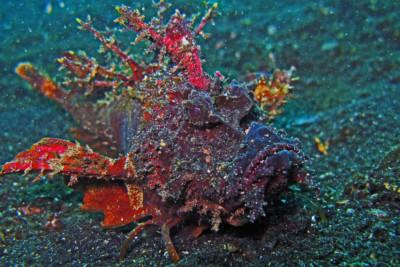 poisson-démon Synanceiidae