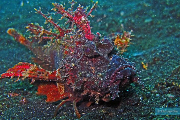 Inimicus didactylus - poisson-démon