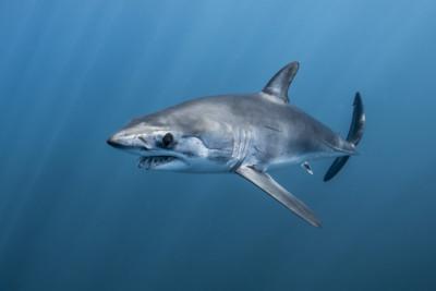 requin mako Lamnidae