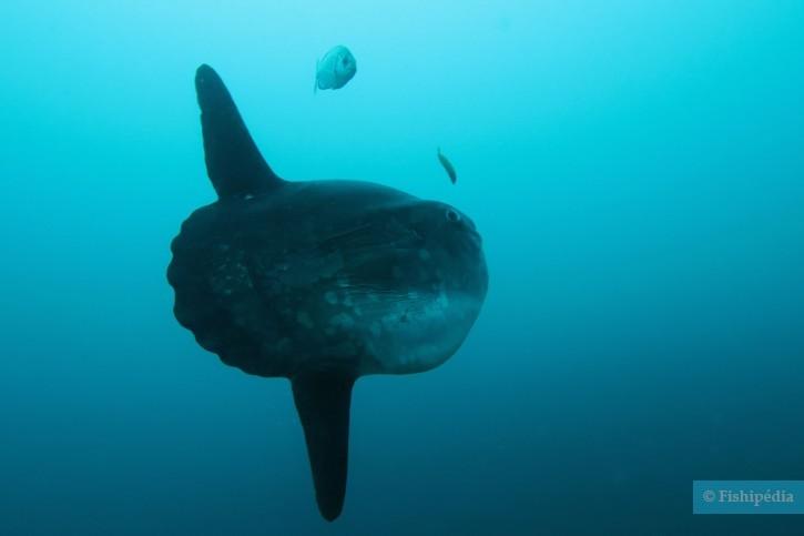Mola mola - poisson lune ou môle