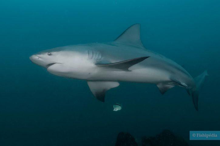 Carcharhinus leucas - requin bouledogue