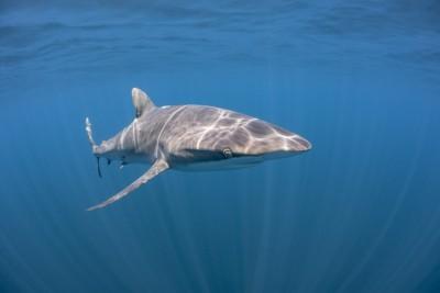 requin soyeux Carcharhinidae