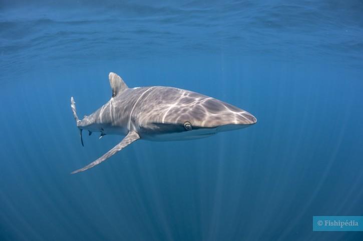 Carcharhinus falciformis - requin soyeux