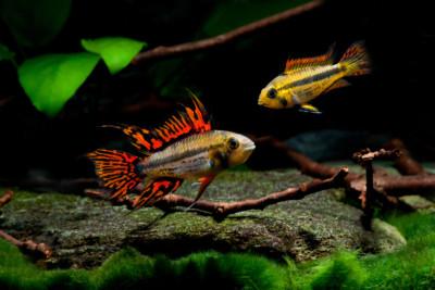 Apistogramma cacatuoides Cichlidae