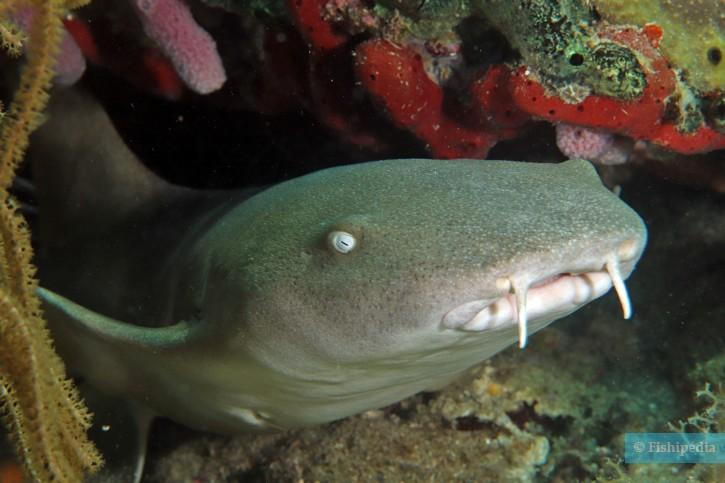 Ginglymostoma cirratum - requin-nourrice