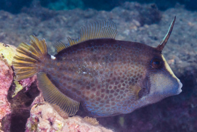 poisson lime panthère