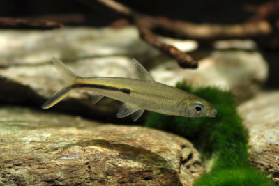 poisson-plume Hemiodontidae