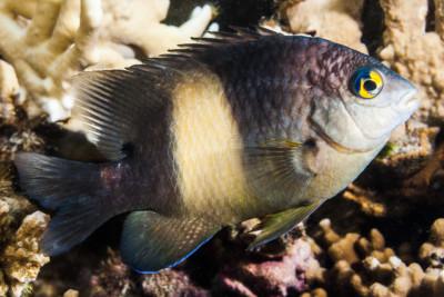 poisson-cafre, Grégoire noire Pomacentridae