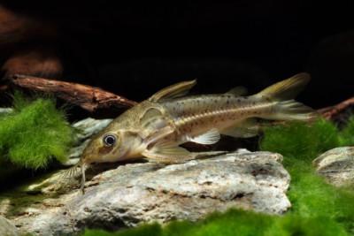 Ossancora eigenmanni Doradidae