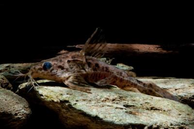 Ossancora punctata Doradidae
