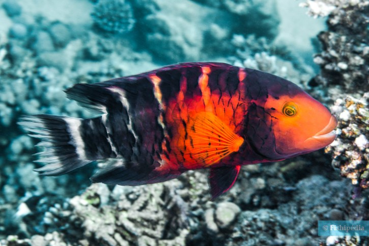 Cheilinus quinquecinctus - vieille rayée de Mer Rouge