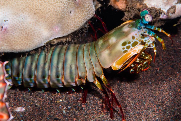 Odontodactylus scyllarus - squille multicolore