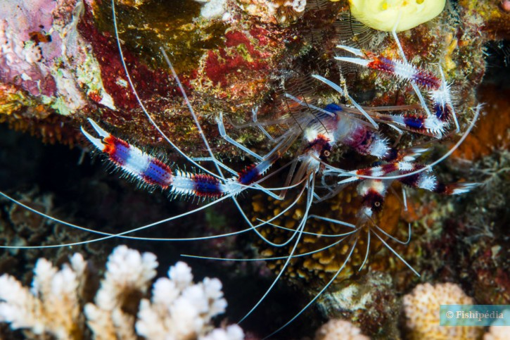Stenopus Hispidus - Grande crevette nettoyeuse