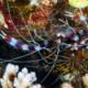 picture of Stenopus Hispidus