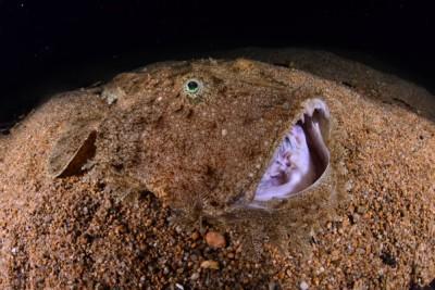 baudroie rousse Lophiidae