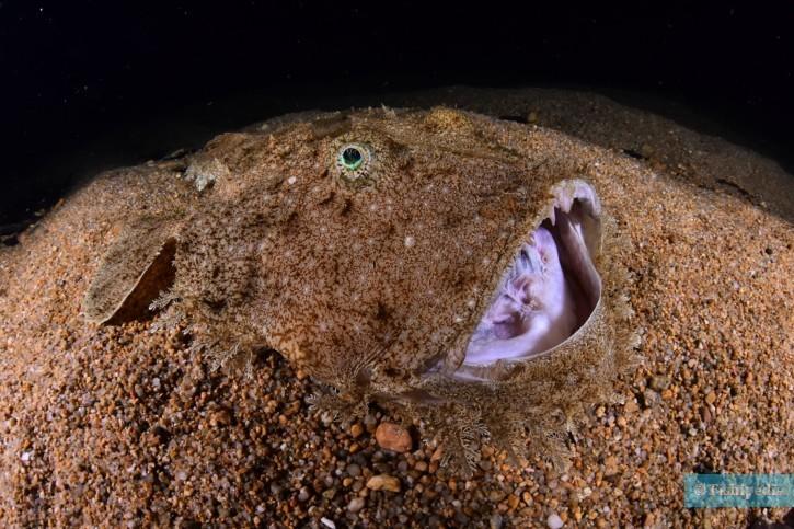 Lophius budegassa - baudroie rousse