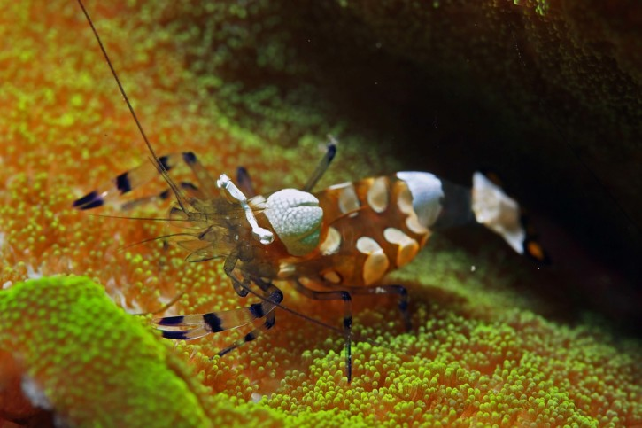 Periclimenes brevicarpalis - Crevette queue de paon