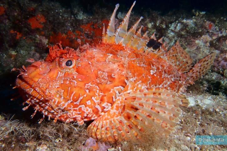 Scorpaena scrofa - rascasse rouge - chapon
