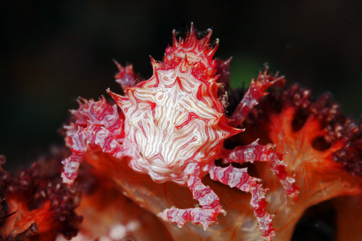 Hoplophrys oatesi - Crabe-araignée des coraux mous