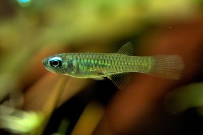 Poropanchax normani (ex. Aplocheilichthys) Procatopodidae
