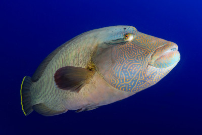 poisson Napoléon Labridae