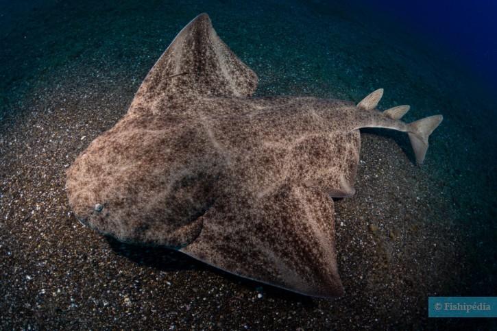 Squatina squatina - ange de mer
