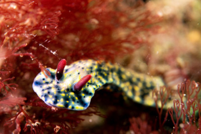 nudibranche obscure Chromodorididae