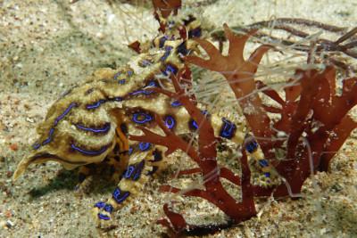 pieuvre à lignes bleues
