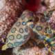 picture of Hapalochlaena lunulata