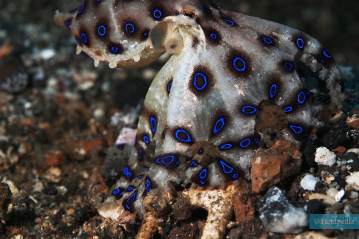 Hapalochlaena maculosa - pieuvre à anneaux bleus