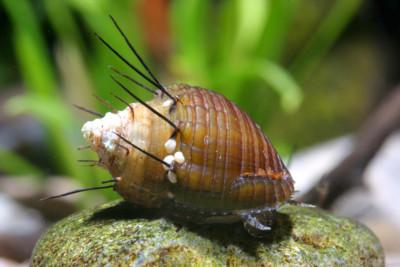 escargot trompette épineux