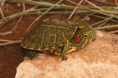 Tortue de Floride Emydidae