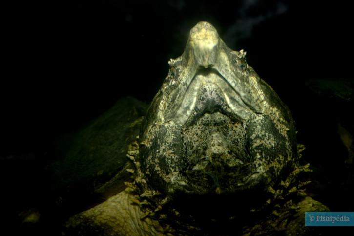 Macrochelys temminckii - tortue alligator