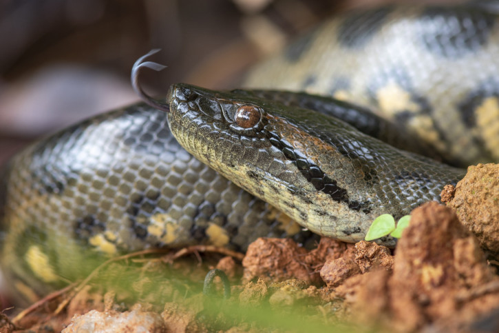 Eunectes murinus - anaconda géant