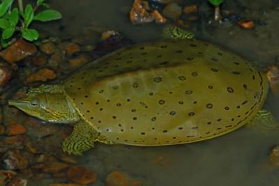 tortue-molle à épines Trionychidae