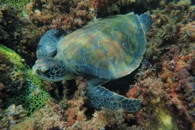 tortue verte Cheloniidae