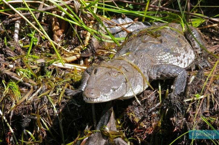 Crocodylus acutus - crocodile américain