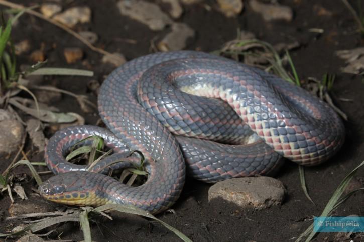 Farancia erytrogramma - serpent arc-en-ciel