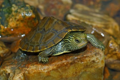 tortue géographique Emydidae