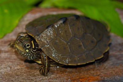 tortue géographique Ouachita Emydidae
