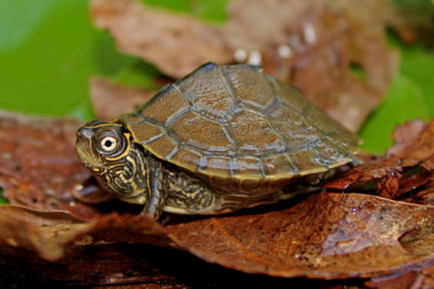 fausse tortue géographique Emydidae