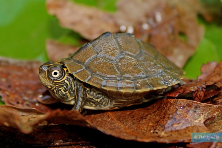 Graptemys pseudogeographica - fausse tortue géographique