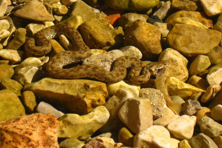 Natrix maura - couleuvre vipérine